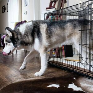 A dog is getting out of his best dog crate comfortably in the home