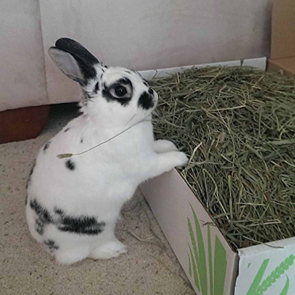A Rabbit sitting in front of a tray of the Best Rabbit Food is in the mood to eat